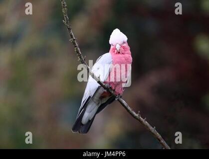 Australian Rose breasted Cockatoo or Galah Cockatoo (Eolophus roseicapilla), perching in a tree. - Stock Image