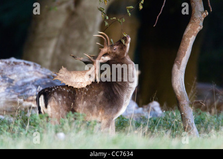 Fallow Deer (Dama dama), Buck Marking branch with Gland Secretion during Rut, Royal Deer Park, Klampenborg, Sjaelland, - Stock Image