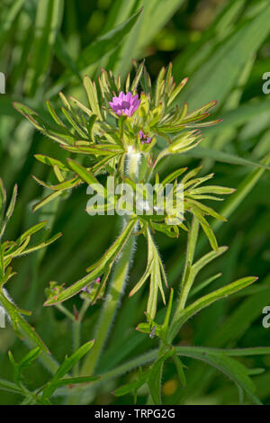 Cut-leaved geranium, Geranium dissectum, small pink flowers and deeply dissected leaves of annual weed, Berkshire, May - Stock Image