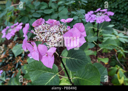 Hydrangea macrophylla 'Black Lace', dark almost black stems - Stock Image