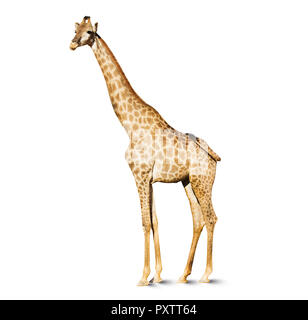 giraffe head isolated on white background, a large African mammal with a very long neck and forelegs, having a coat patterned with brown patches separ - Stock Image