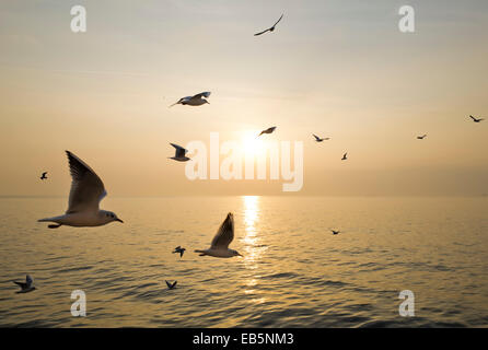 Birds flying over the sea with the sunset - Stock Image