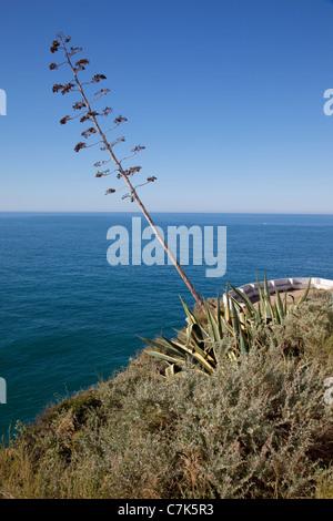 Portugal, Algarve, Carvoeiro, Tree & Coastline - Stock Image