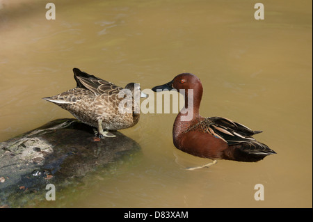 A pair of Argentine Cinnamon Teal  Anas cyanoptera cyanoptera the drake delivering the killer chat up line - Stock Image