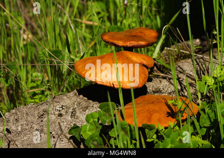 Three golden mushrooms (Gymnopilus suberis) growing on the crevices of a dead cork tree branch fallen into a green weeds field. Arrabida mountains, Po - Stock Image