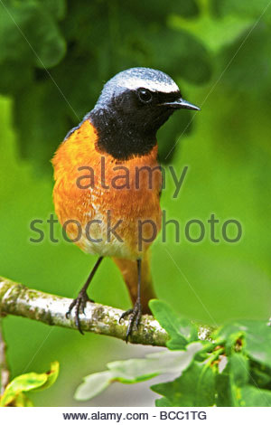 REDSTART (Phoenicurus phoenicurus). Male perched on branch of oak tree. - Stock Image