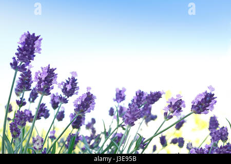 Lavender plant in full bloom in front of a blue sky, background, symbol for relaxation and tranquillity, copy space, - Stock Image