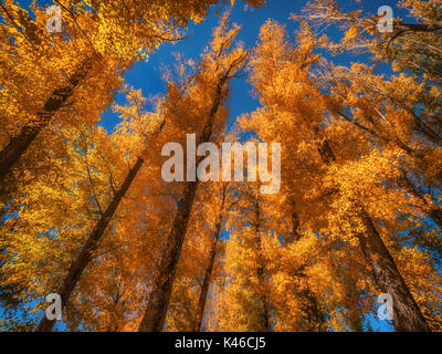 Low angle view of group of tall trees with brightly colored fall foliage set against a clear blue sky. - Stock Image