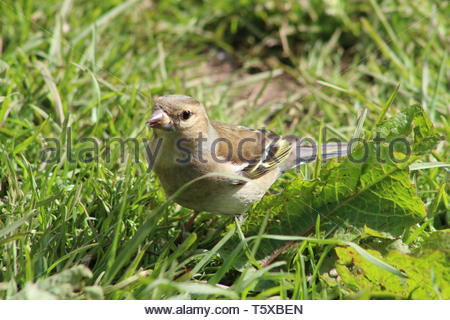 Chaffinch (Fringilla coelebs) in the grass looking towards the camera - Stock Image