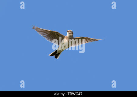 Eurasian skylark (Alauda arvensis) in flight against blue sky - Stock Image