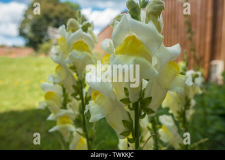 Close up view of yellow antirrhinum or snap dragon flowers. - Stock Image