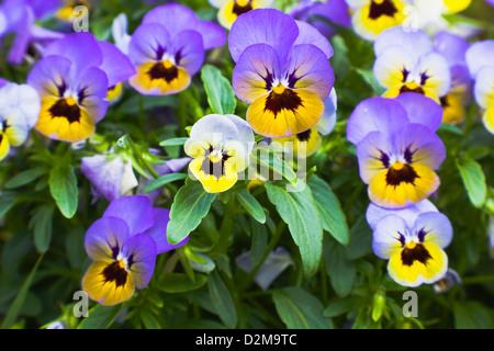 violets in full bloom - Stock Image