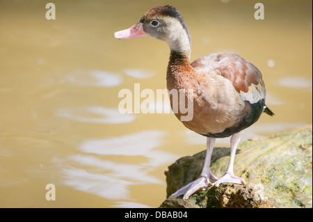 Black-Bellied Whistling Duck Dendrocygna autumnalis Standing on riverside rock - Stock Image