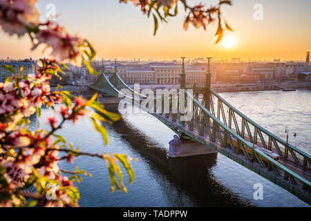 Budapest, Hungary - Spring in Budapest with beautiful Liberty Bridge over River Danube with traditional yellow tram at sunrise and cherry blossom at f - Stock Image