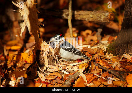 Downy woodpecker works on a tree surrounded by autumn leaves. - Stock Image