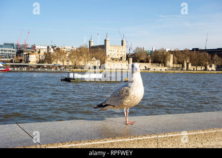 Gull bird standing on a wall on the south bank of the river Thames London with a view of the tower of London in the background - Stock Image