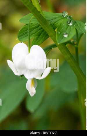botany, blossom of a whitewash watering hear, Caution! For Greetingcard-Use / Postcard-Use In German Speaking Countries Certain Restrictions May Apply - Stock Image