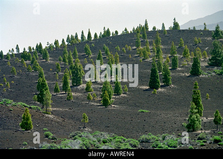 A View of the Interior of Tenerife Canary Islands Showing New Trees Planted in the Lava Ash - Stock Image