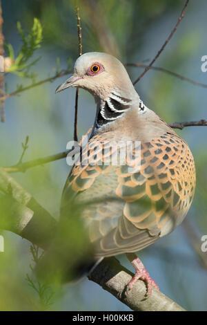 Turtle Dove - Stock Image