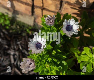 A blue-eyed African Daisy, Osteospermum, in a flower bed. Kansas, USA - Stock Image