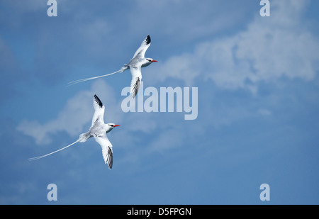 Male Red-billed Tropic Birds, Antigua - Stock Image