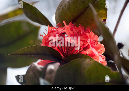 An endemic rhododendron variety flowering in forest in Kinabalu Park, Sabah, Malaysian Borneo - Stock Image
