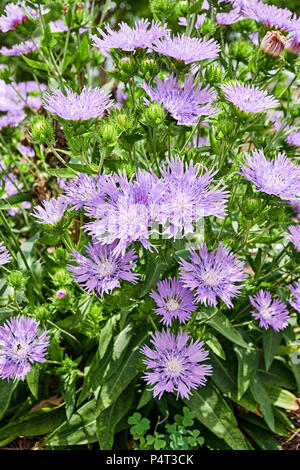 Stokesia laevis or Mells Blue, or Stokes Aster flowers in full bloom or blooming in a home garden. - Stock Image