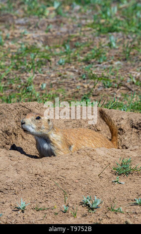 Gunnison's prairie dog (Cynomys gunnisoni) in the protection of its burrow making warning calls of danger, Castle Rock Colorado US. - Stock Image