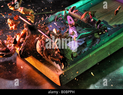 Rat trap crushing nuts - Stock Image
