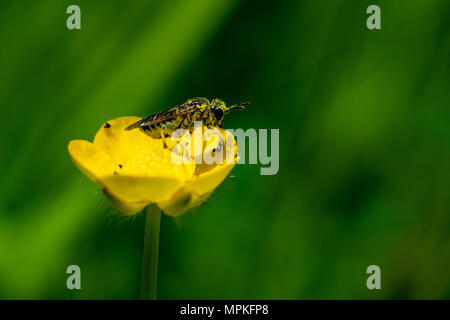 Black and yellow wasp mimic insect covered in wild flower buttercup pollen, Essex - Stock Image
