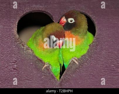 Black Cheeked Lovebirds (agapornis nigrigenis) - Stock Image