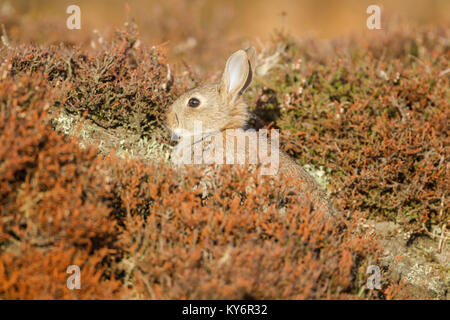 Young wild rabbit, Latin name Oryctolagus cuniculus, sitting among heather on moorland - Stock Image