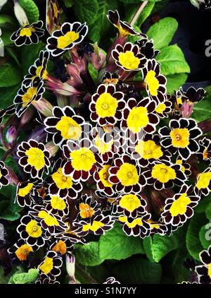 Yellow brown primula flowers - Stock Image