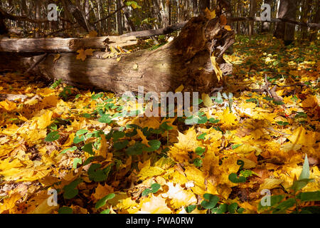 Fallen yellow maple leaves on a forest floor in autumn. Bitsevski Park (Bitsa Park), Moscow, Russia. - Stock Image