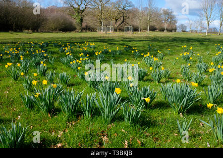 A field of daffodils planted for the charity Hospice Hope. - Stock Image