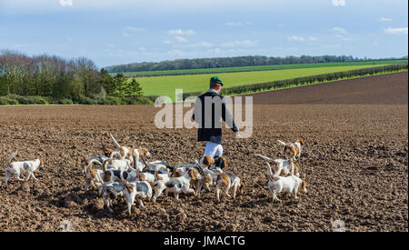 The East Lincs (Lincolnshire) Basset Hounds - The Huntsman and the pack of hounds away for the day hunting crossing a ploughed field - Stock Image