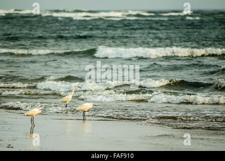 Egrets, southern Sierra Leone. - Stock Image