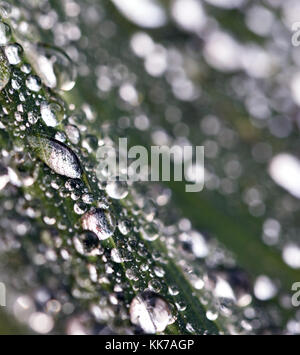 Close-up macro image of water drops on a red colored garden plant leaf - Stock Image