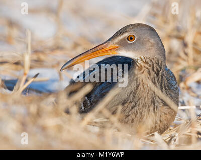 Clapper Rail - Stock Image