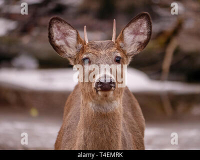Yearling white-tailed deer (Odocoileus virginianus) buck. Thatcher Woods, River Forest, Illinois. - Stock Image