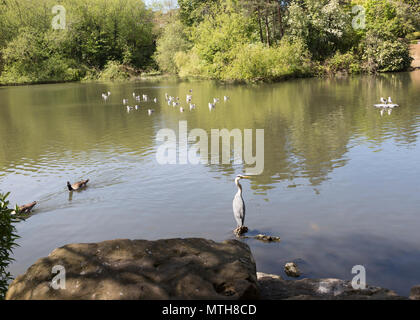 Wildfowl birds on pond pool Queen's Park, central Swindon, Wiltshire, England, UK - Stock Image