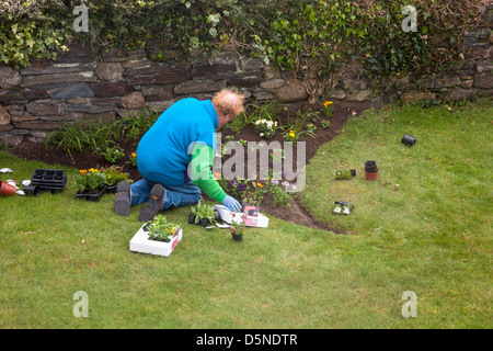 Older man kneeling planting spring bedding plants in his garden - Stock Image