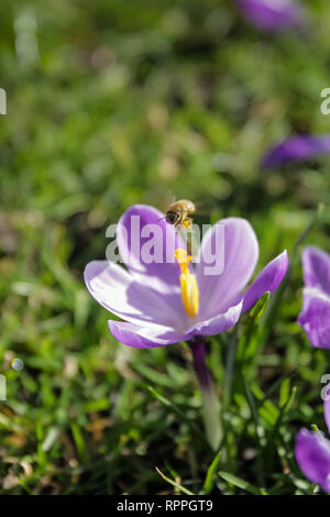 St James's Park, London. 22nd Feb 2019. UK Weather: Springtime in London. Crocuses in St James's Park, London, UK Credit: amanda rose/Alamy Live News - Stock Image