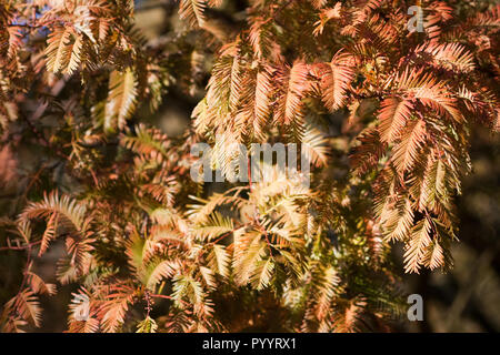 Metasequoia glyptostroboides leaves changing colour in autumn uk - Stock Image