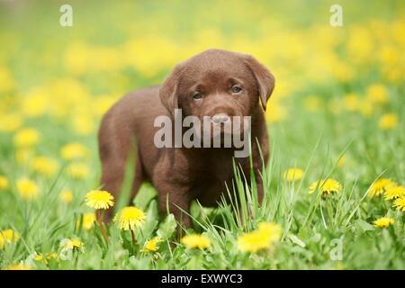 Labrador puppy, Upper Palatinate, Bavaria, Germany, Europe - Stock Image