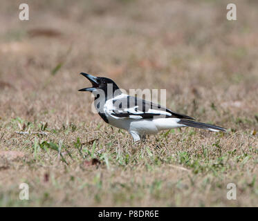 Pied Butcherbird (Cracticus nigrogularis) with open beak, Cape York Peninsula, Far North Queensland, FNQ, Australia - Stock Image