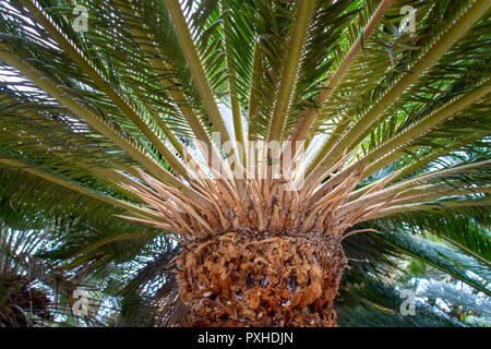 Tropical palm tree - Stock Image