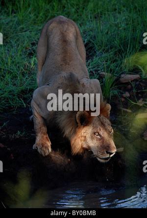 MALE LION DRINKING (PANTHERA LEO) AFRICA'S LARGEST PREDATOR . MUKUMI NATIONAL PARK TANZANIA AFRICA. - Stock Image