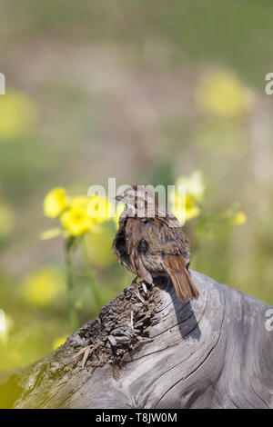 Song Sparrow yellow flowers in background - Stock Image