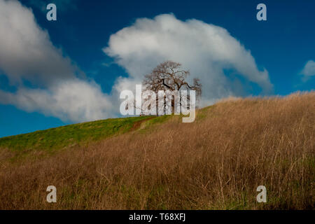 A lone oak tree leafless at the Lagoon Valley Park in Vacaville against a mix of dry and green grass on a partly cloudy day - Stock Image
